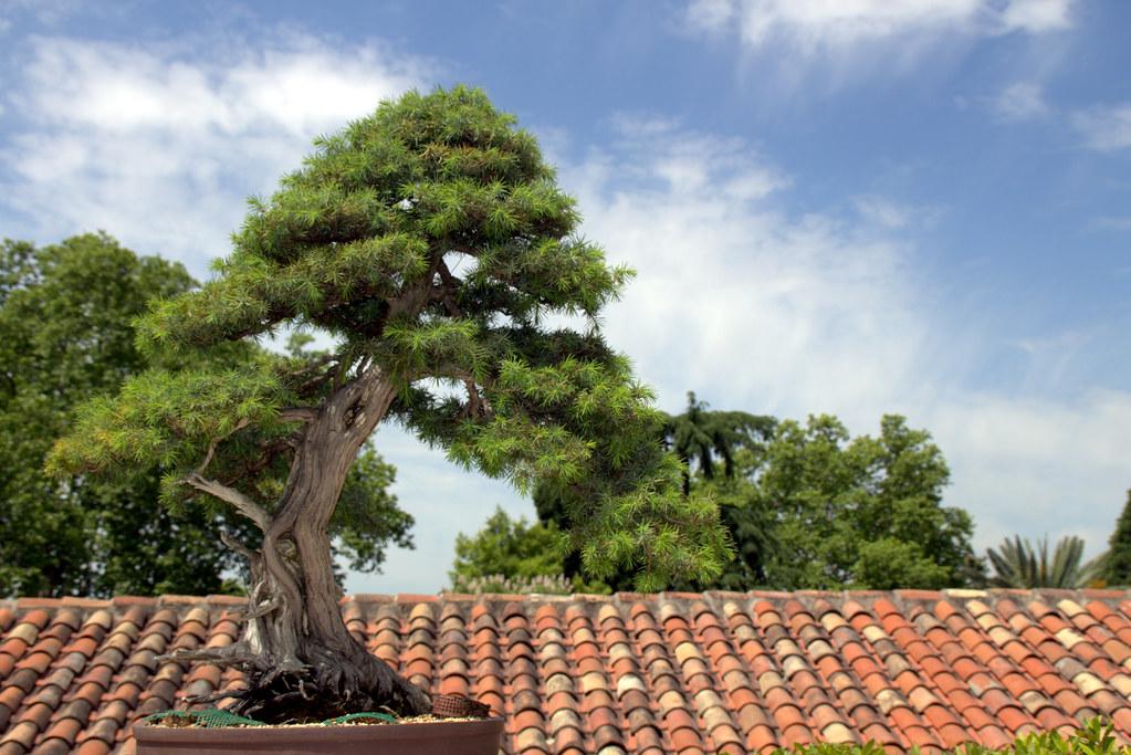 Juniperus rigida o enebro de las pagodas