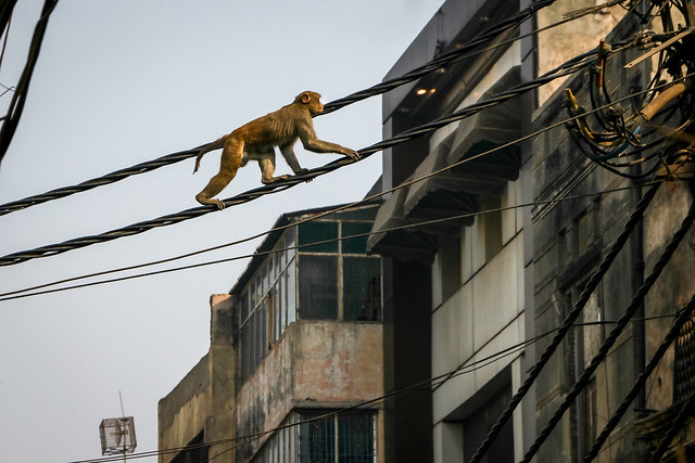 A monkey walking on the electric wire, Old Delhi, India オールド・デリー 電線の上を歩く猿