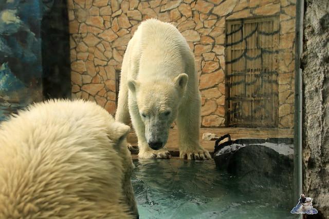 Eisbär Fiete im Zoo Sosto 30.05.2017 145