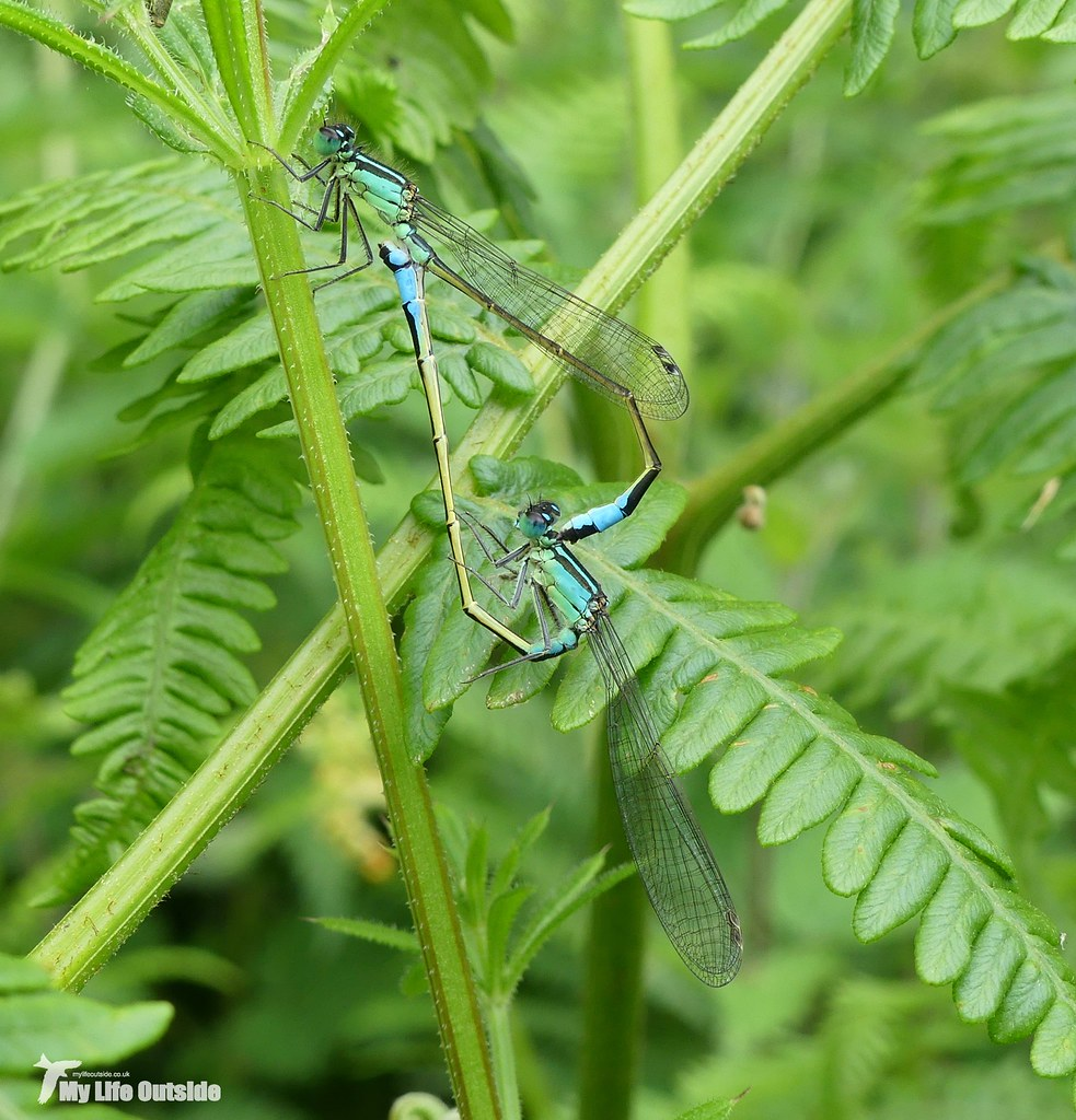 P1080686 - Blue-tailed Damselfly