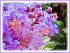 Lagerstroemia (Crape Myrtle, Crepe Myrtle/Flower, Japanese/Indian Crape Myrtle) with lavender coloured blossoms and promising buds, 1 June 2017