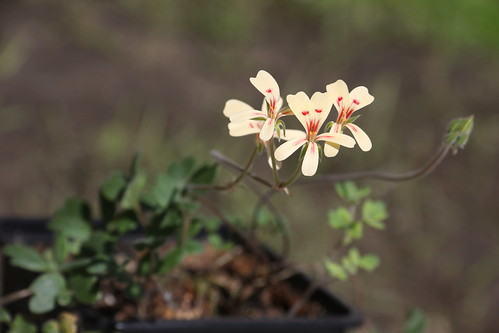 Unknown tuberous Pelargonium sp.