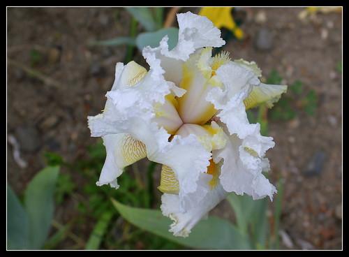 Iris 'Charming Ann' - Ladislav Muska 1994 - NE 34188793264_8bf64d8c41
