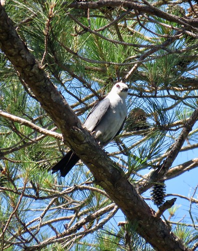 Mississippi Kite 5-6-17 Sewee | by PamelaFord1