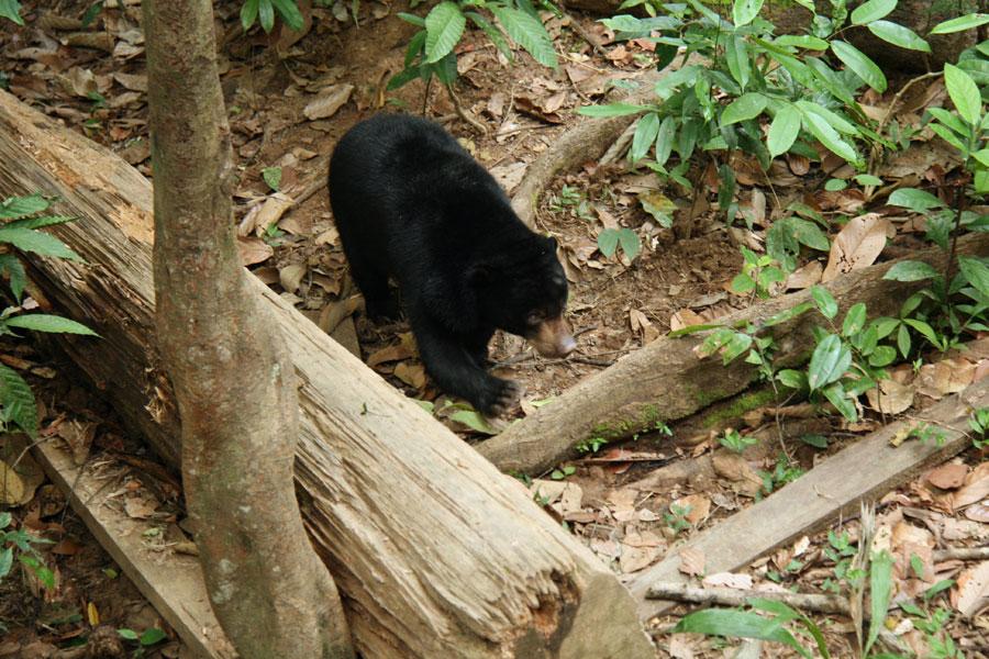 Borneo_malaijikarhu4
