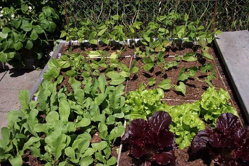 Garden 2017 Lettuce, radish and beans
