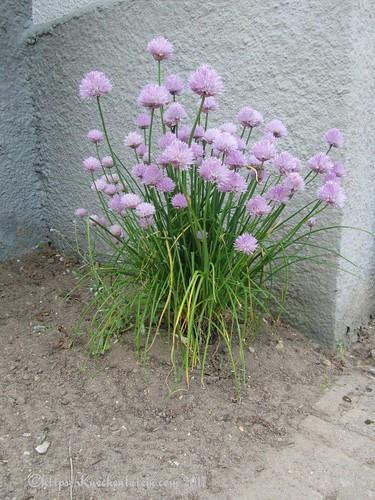 Schnittlauch mit Blüten im Garten
