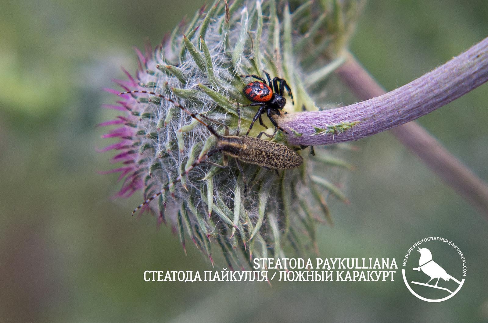 Steatoda paykulliana // 20170522