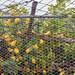Lemon trees behind protective fencing, on pathway from Ravello to Minori, Amalfi Coast, Italy
