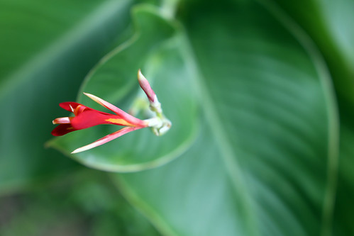 Red flower drowning in a sea of green at the Singapore Botanic Gardens | by saraflossy