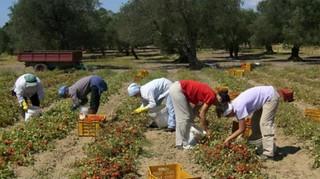 Braccianti nei campi di pomodoro (fonte GuidaSicilia.it)