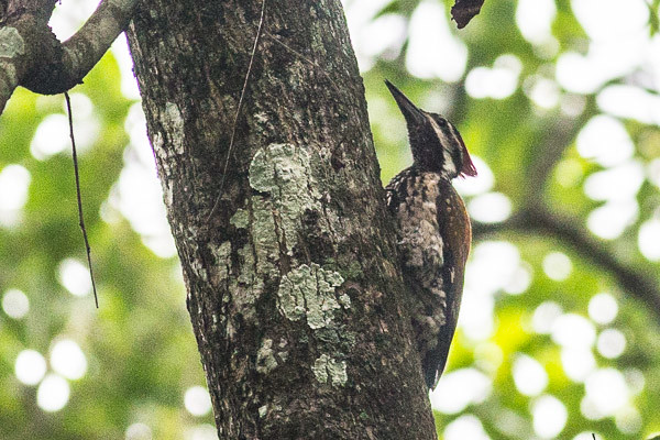 Black-rumped Flameback ??