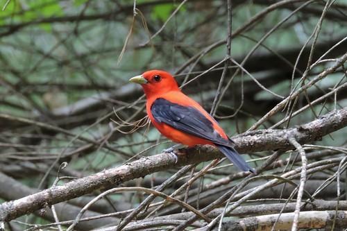#43 Scarlet Tanager