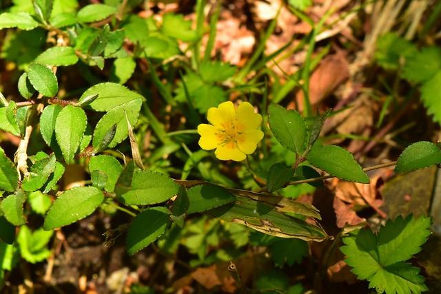 畦ヶ丸で見つけた黄色い花