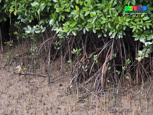Saplings at Changi Creek mangroves