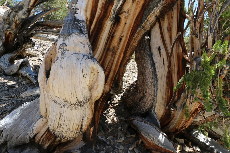Beautiful shapes and colors on the dead Bristlecone Pine stumps on the Methuselah Trail