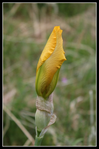 Iris 'Zantha' - O. Fay 1947 34183890903_ff09193e1a