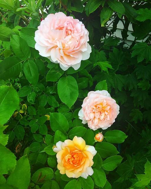Rosy.