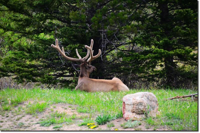 elk (6)