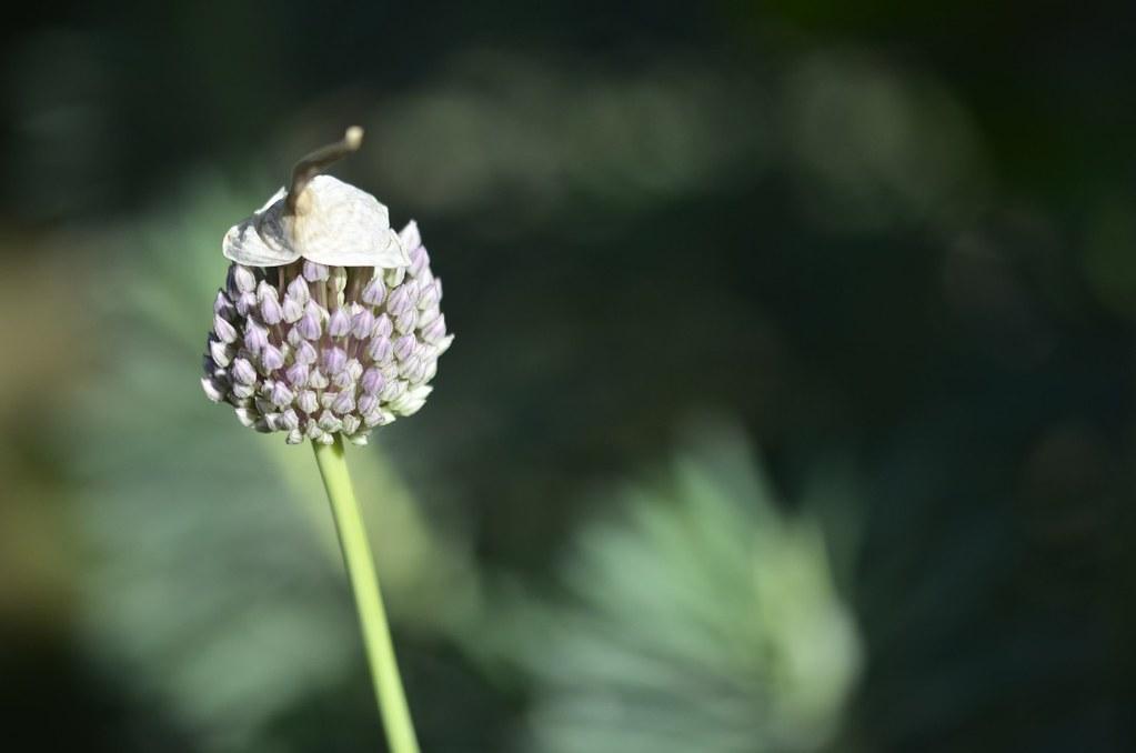 Fleur D Ail Couronnee D Un Petit Lutin Malicieux Catherine Reboul