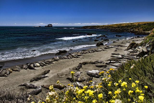 Piedras Biancas elephant seals