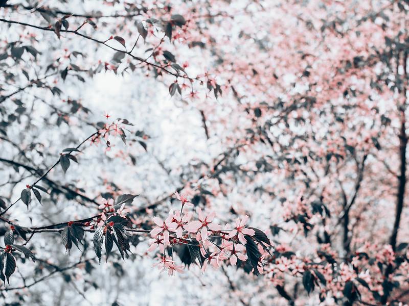 CherryBlossomsHelsinkiRoihuvuoriFinlandMayP5206939.jpg,P5206932.jpgLightPinkCherryTreesHelsinkiCherryBlossom, cherry blossom, cherry tree bloom, kirsikkapuut, kirsikkapuisto, suomi, finland, helsinki, roihuvuori, kevät, toukokuu, may, spring, photography, valokuvaus, photos, harmaa, gray, light pink, vaaleanpunainen, olympus, camera, kamera, cherry park, flowers, kukat, maisema, view, kirsikankukat, cherry flowers, kirsikkapuut,