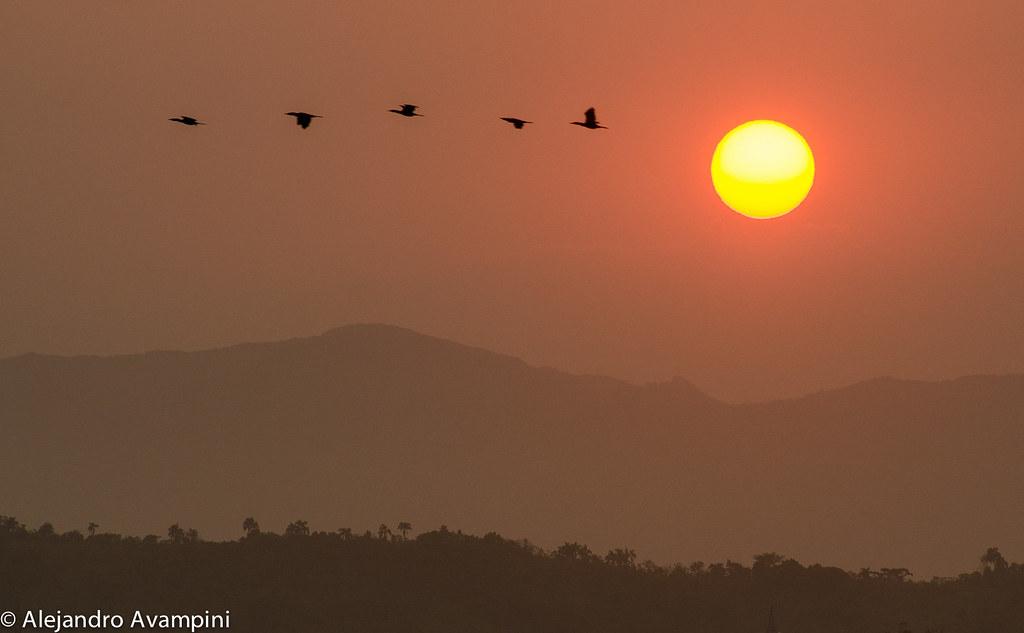 Garzas volviendo a la Isla da Batuta en el atardecer, sobre la Lagoa de Ibiraquera