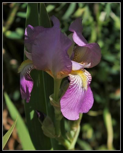 Iris 'Queen of May' - John Salter (avant 1859)  34856455591_5730ea3617