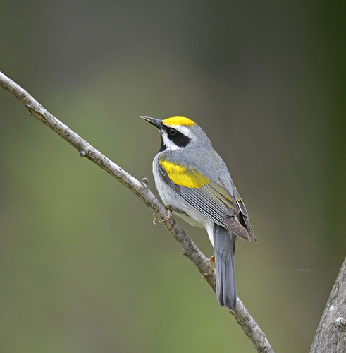 Golden-winged Warbler | by Digital Plume Hunter