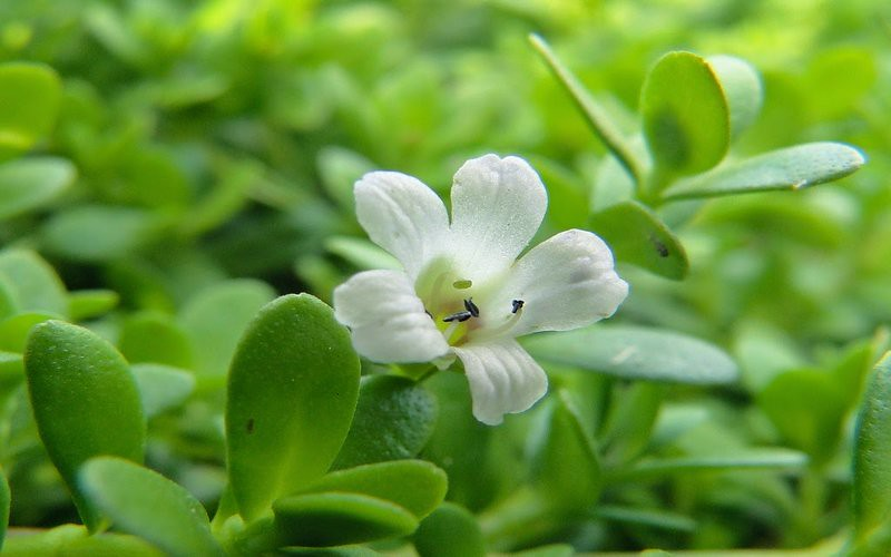 Extraordinary Health Benefits Of Brahmi