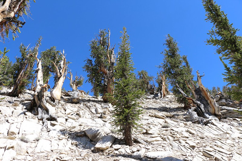Up there on that dolomite ridge above us lies the Methuselah Tree, but they won't say which one it is