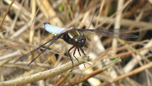 Broad-bodied Chaser Libellula depressa Tophill Low NR, East Yorkshire June 2017