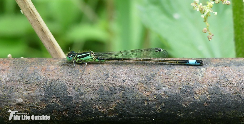 P1080691 - Blue-tailed Damselfly
