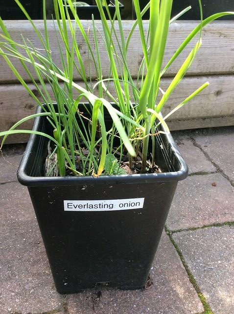 Everlasting onionn, an edible perennial alliums