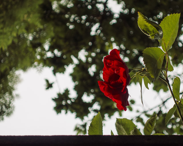 red rose peeking over wall
