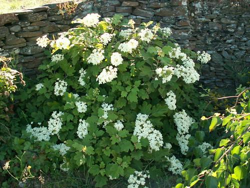 Hydrangea quercifolia 35375377705_6b17ba021f