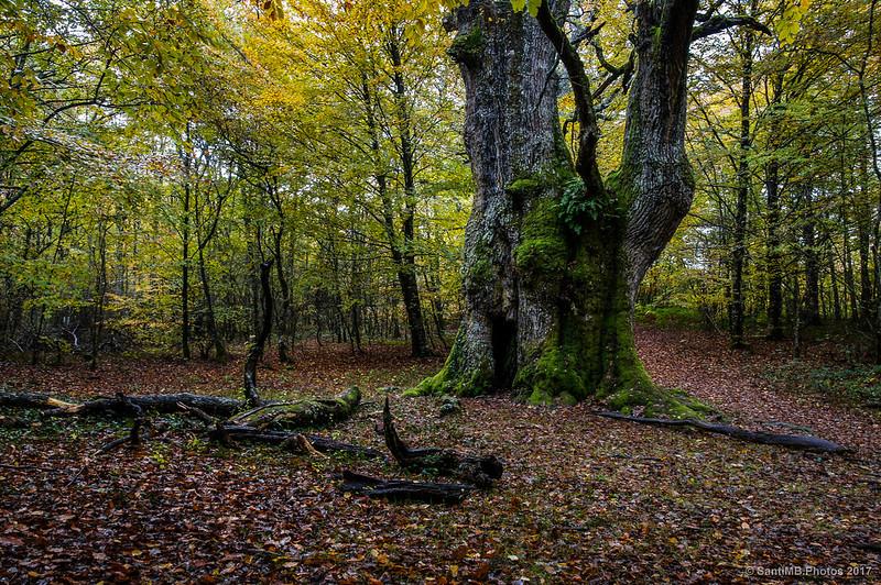 Un gran roble en el bosque de los Robres Milenarios