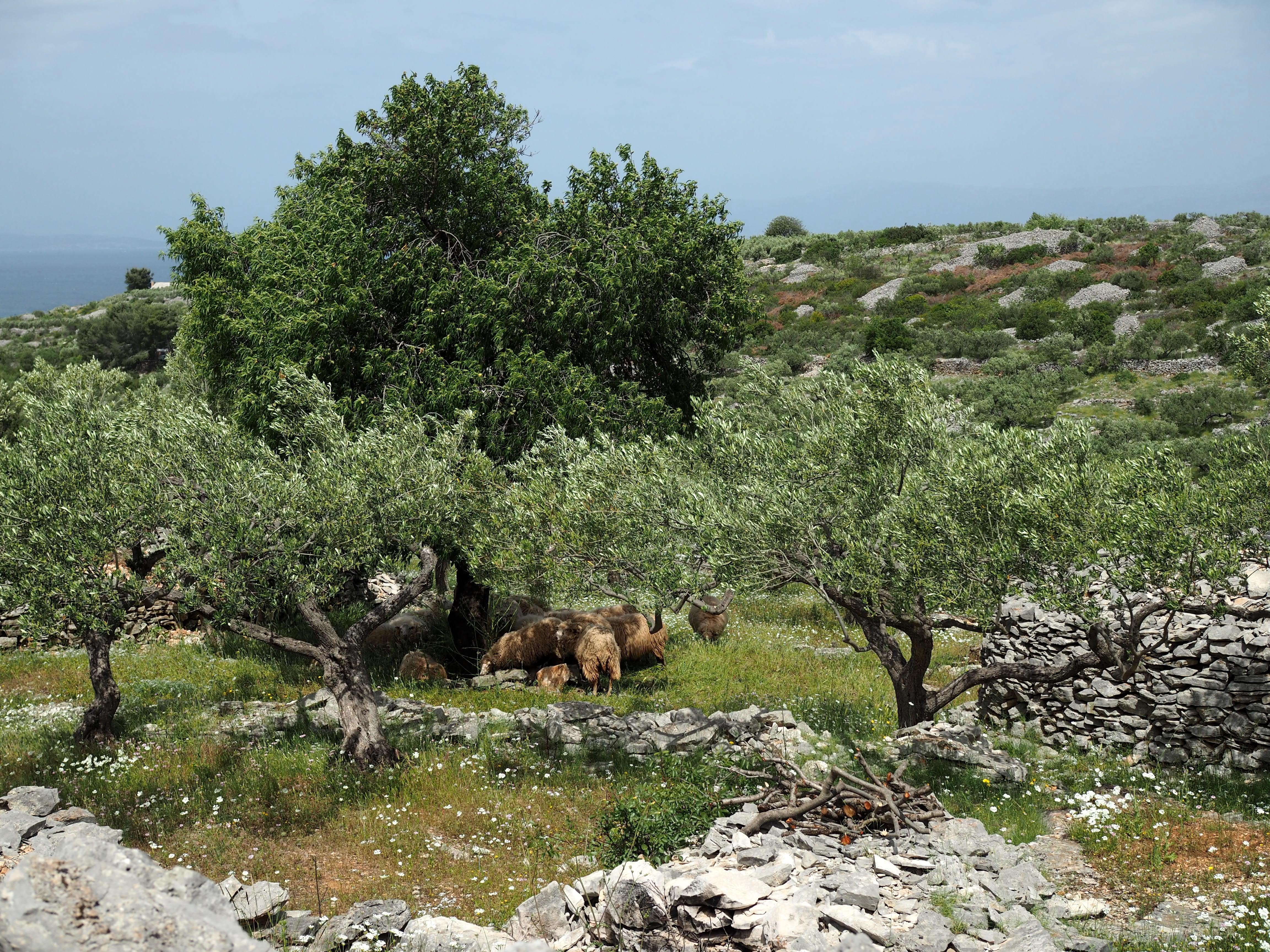 maaseutu supetar lampaat