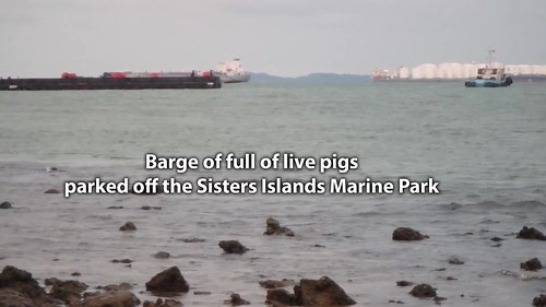 Barge full of live pigs parked off the Sisters Islands Marine Park