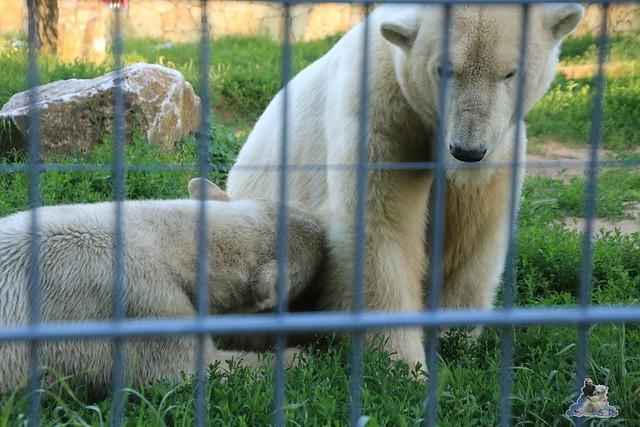 Eisbär Fiete im Sosto Zoo 27.05.2017 045