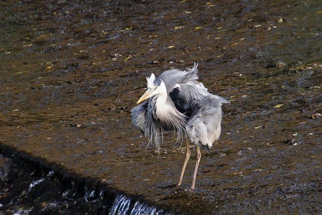 Heron shuddering