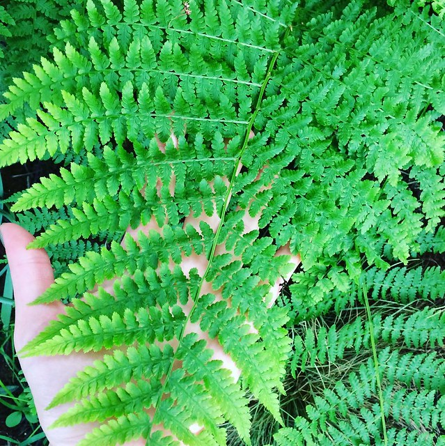 Maggie trampled down this fern in the backyard 2 years ago...I'm always pleased when it grows back.