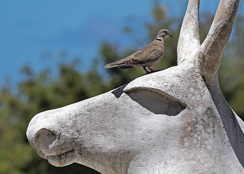 Cuba: Eurasian Collared-Dove on Statue