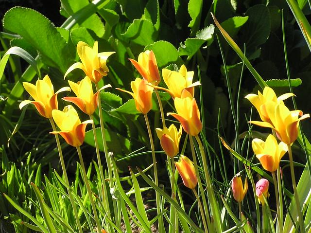 Tulipa clusiana  var crysantha