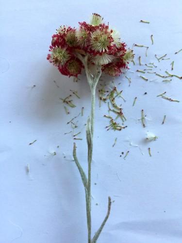 Dam HaMakabim (Helicrysum sanguinum) coming into seed
