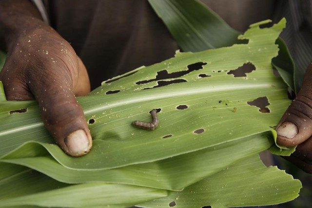 A maize plant affected by fall armyworm