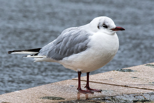 Camman's Pond: Black-headed Gull 1