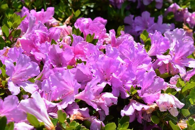 紫のツツジ