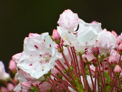 Mountain laurel on drizzly day