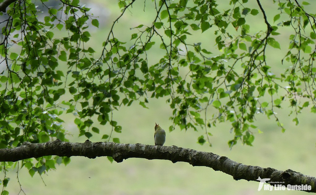 P1080153 - Wood Warbler